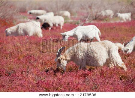 Sheep on the prairie
