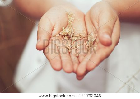 Spikelets Of Wheat In Hand