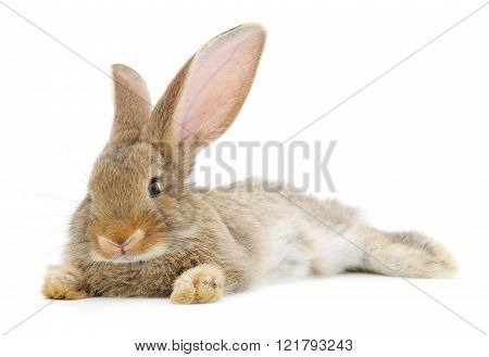 Brown Bunny Rabbit.