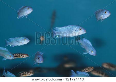 Blue malawi cichlids. Freshwater aquarium fish. Blue fish