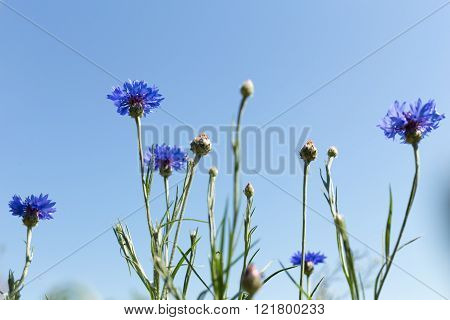 Cornflowers bush in the field bottom view