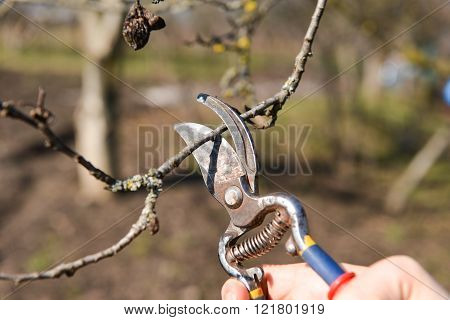 Pruning of trees with secateurs in the garden. Clean fruit trees of dead branches and useless to make fruit