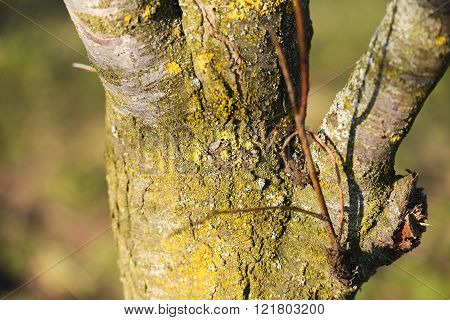 closeup of a dying tree with lichens