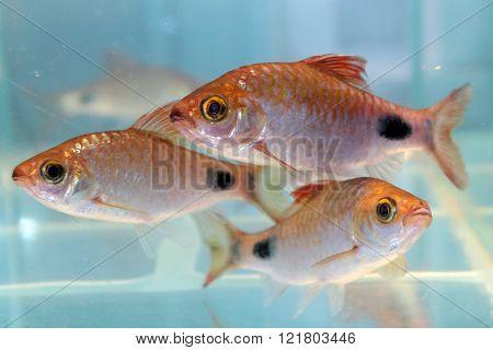 Filament barb (Puntius filamentosus) freshwater aquarium fish