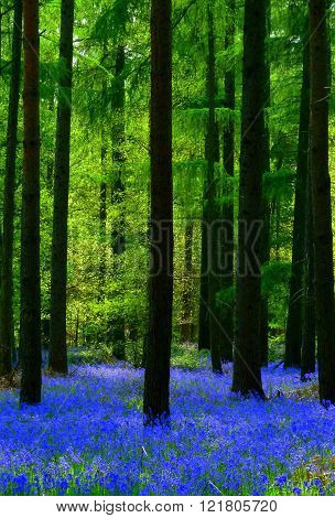 A carpet of bluebells under larch trees in an English woodland at springtime