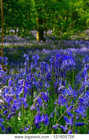 Bluebells in a wood near Langley in Hertfordshire, England