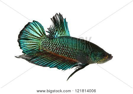 Siamese fighting fish (Betta splendens) on white background. No clipping paths , Fish was taken on the white background.