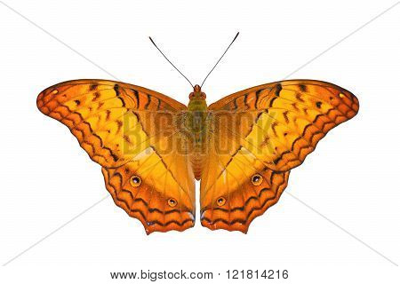 Common Cruiser  (Vindula erota): Tropical Nymphalidae live butterfly on white background