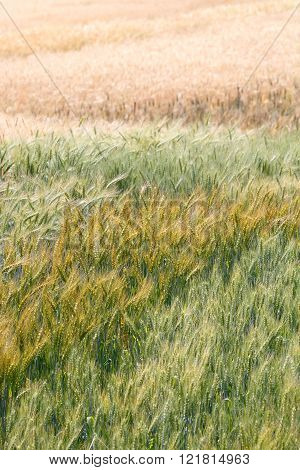 Colorful premature and mature wheat plant in the field (vertical)