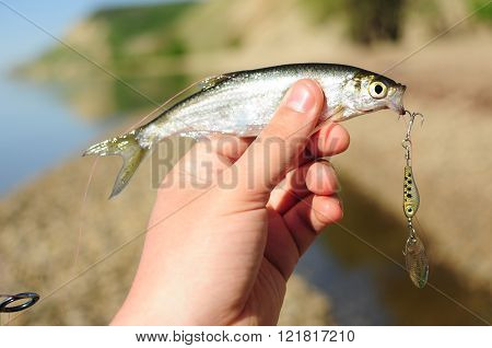 Spinning fishing in fresh water. Bleak fish & lure