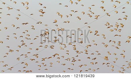 Sandpipers In Flight On A Background Of Gray Sky