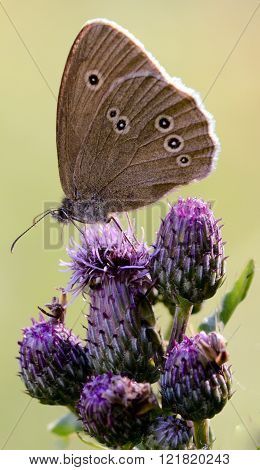 Ringlet on a Thistle