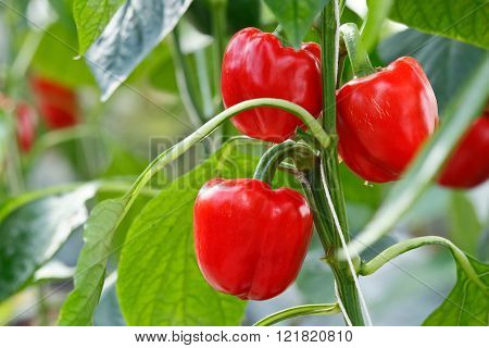 Red bell pepper (sweet pepper) on the pepper tree