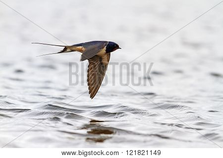 Swallow Over Water With Reflection