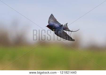Swallow Flies Over A Field, Unique Frame