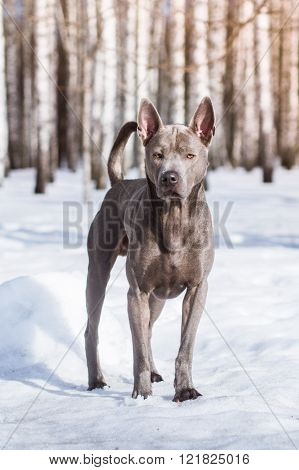 Grey winter thai ridgeback in the city on the road