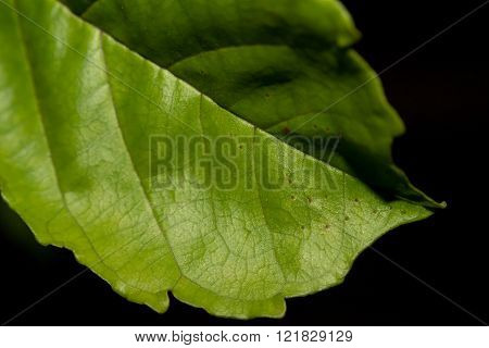 Closeup Of Green Leaf On Black Background