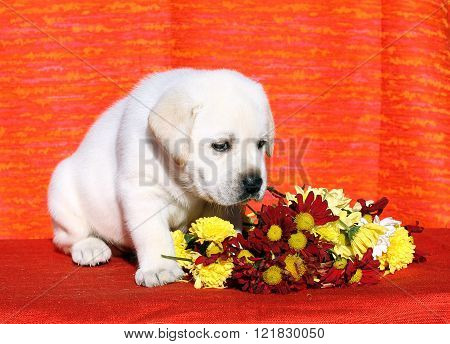 The Nice Labrador Puppy On An Orange Background
