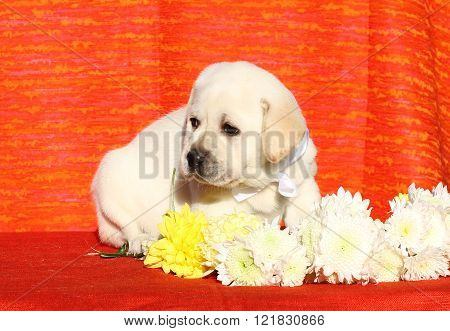 Nice Labrador Puppy On An Orange Background
