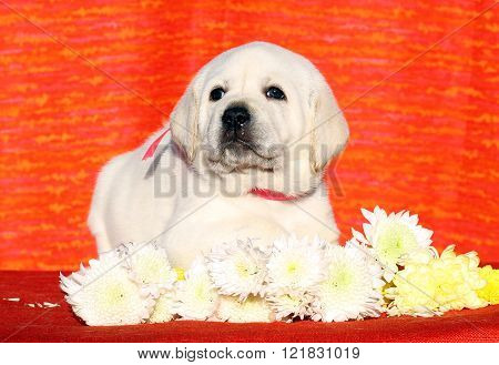 Cute Nice Labrador Puppy On An Orange Background
