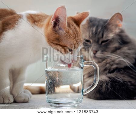 Kitten drinking water from a glass. Muzzle kitten large. Kitten lapping water pink tongue. The water is clean, clear