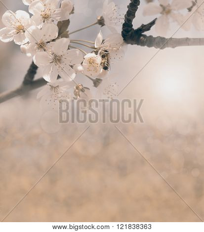 spring background  old design with cherry flower