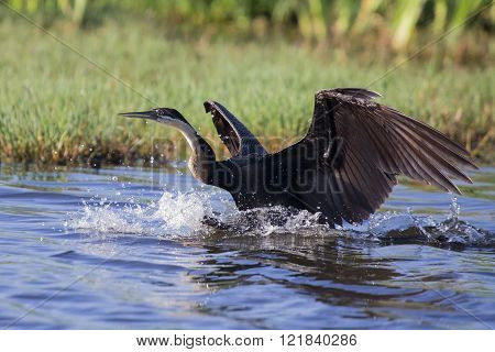 African Dater Taking Off From Pond After Fishing