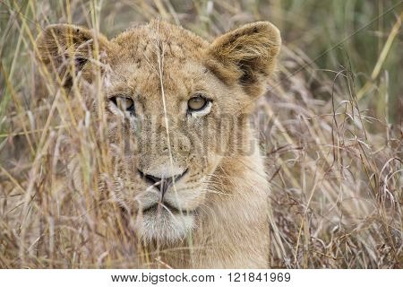 Lioness Move In Brown Grass To Kill