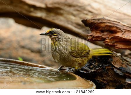 beautiful Stripe-throated bulbul (Pycnonotus finlaysoni) in Thai forest