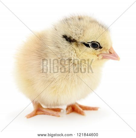 Small Yellow Chicken.