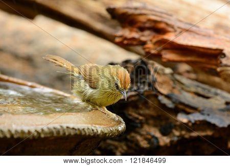 beautiful Pin-Stripeed babbler (Macronus gularis) in forest of Thailand