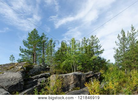 Pine trees on the edge