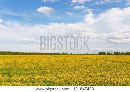 field a lot of dandelions