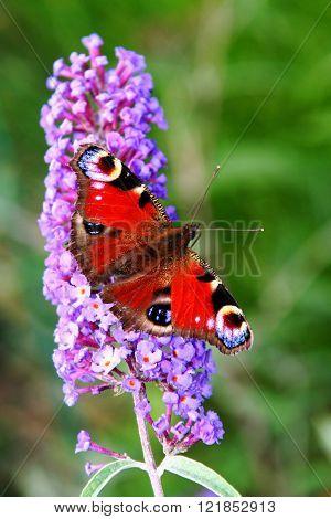 butterfly, Tagfauenauge