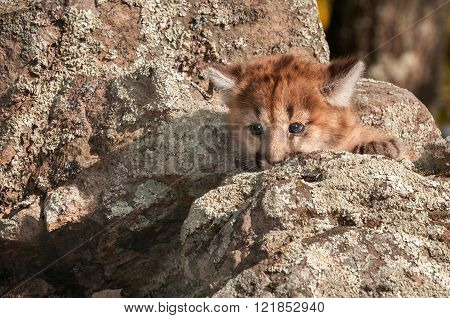 Female Cougar Kitten (puma Concolor) Behind Rock