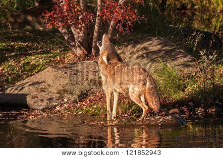 Coyote (canis Latrans) Howling