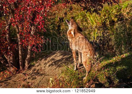 Coyote (canis Latrans) Howls By Tree