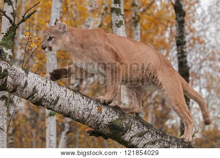 Adult Male Cougar (puma Concolor) Climbs Up Birch Branch