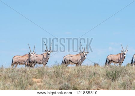 A herd of oryx or gemsbok, Oryx gazella, in the Mountain Zebra National Park near Cradock in South Africa