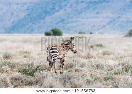 A young mountain zebra, Equus zebra zebra, in the Mountain Zebra National Park near Cradock in South Africa