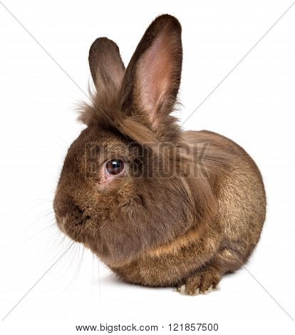 Funny Lying Chocolate Colored Lionhead Rabbit