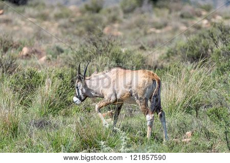 An oryx calf, Oryx gazella, in the Mountain Zebra National Park near Cradock in South Africa
