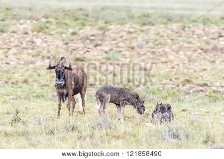 Wet black wildebeest cow and calves Connochaetes gnou in the Mountain Zebra National Park near Cradock in South Africa