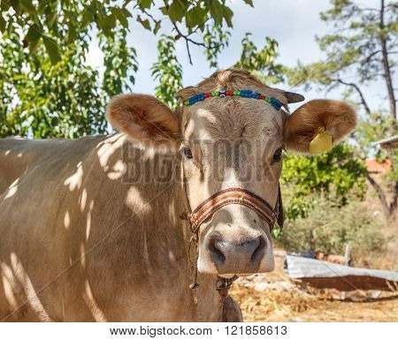 Light Beige Cow Portrait
