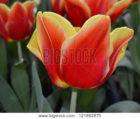 Spring flower bed was full of sharply colored blossoms of tulips. having spring beautiful colors.