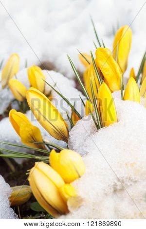 Spring Snow On Yellow Flowers