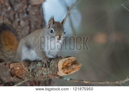 Endearing, springtime Red squirrel on a branch, close up and looking at camera,