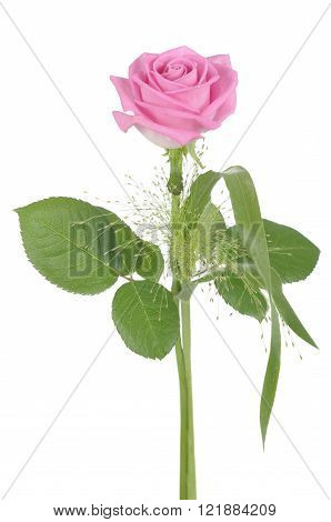 Fresh pink rose flower on white background