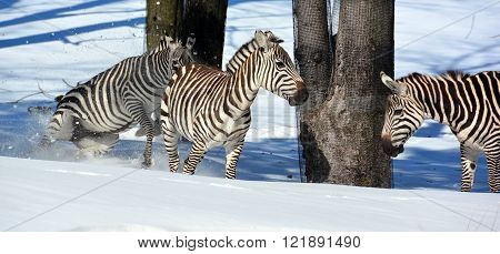 Winter time Zebras are several species of African equids (horse family) united by their distinctive black and white stripes. Their stripes come in different patterns unique to each individual.