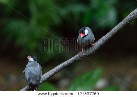 Java Sparrow, Ricebird